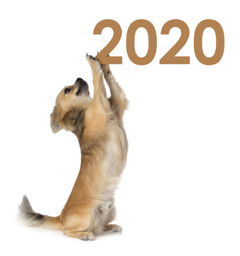 Chihuahua that holds the year 2020