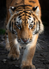 Fototapete - Close up view portrait of a Siberian tiger