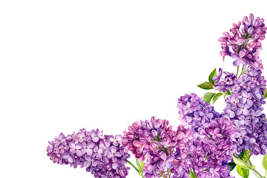 frame of lilac flowers on an isolated white background, watercolor illustration, botanical painting, hand drawing