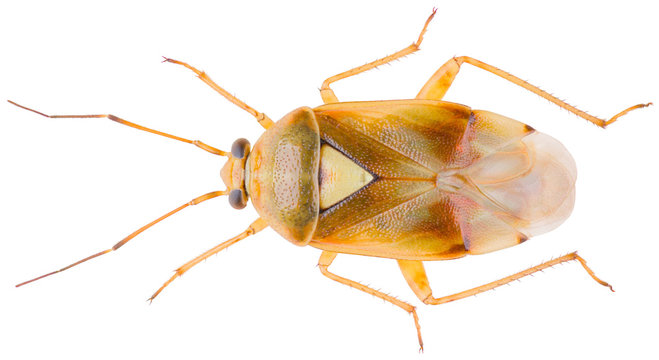 Lygus gemellatus is a species of plant-feeding insects in the family Miridae. Dorsal view of lygus bug isolated on white background.