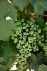Green grapes growing in vineyard