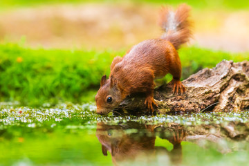 Türaufkleber Eichhornchen Eurasian red squirrel, Sciurus vulgaris, drinking water in a forest pond