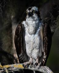 Osprey Portait
