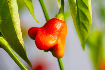 Zelfklevend Fotobehang Hot chili peppers Crown shaped pepper growing on the plant