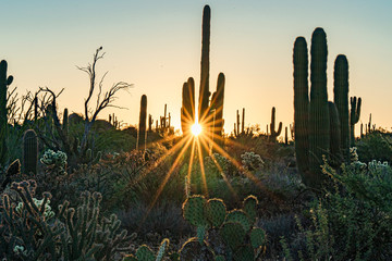 A sunburst behind the saguaro in the desert