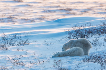 polar bear mom and cubs playing in the snow at sunset