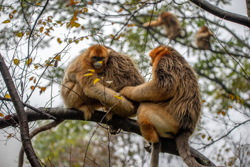 Foto op Aluminium Aap hugging golden snub nosed monkey