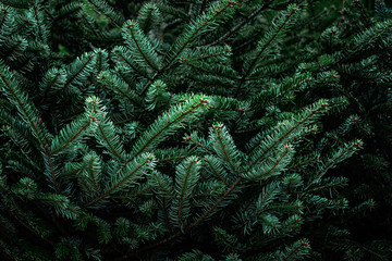 Fir tree brunch. Christmas Background with beautiful fluffy green pine tree brunch close up. Copy space. Nature concept