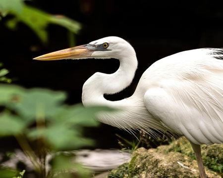 Great egret hunting for breakfast