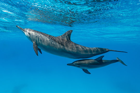mother and baby  Spinner dolphins (Stenella longirorstris) swimming over sand in Sataya reef, Egypt, Red Sea