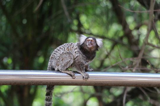 Marmoset Monkey brazil