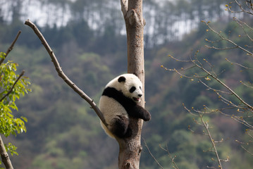Aluminium Prints Panda giant panda cub in a tree