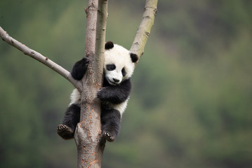 giant panda cub in a tree