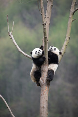 Photo sur Aluminium Panda playful giant panda cubs in a tree