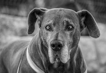 bonito cão dogue alemão preto e branco