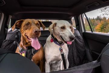 Two rescue dogs inside a car headed to the park, Doberman mix and white lab mix