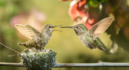 Baby hummingbird opening mouth for food from mother
