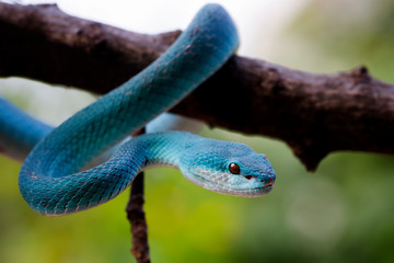 blue insularis pit viper, venomous snake