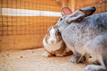 Family of rabbits in a wooden corral. Photographed close-up.