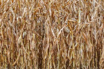 Maizal. Campo agrícola de maíz seco. Mazorcas. Comarca de El Páramo, León, España.