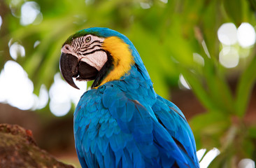 Yellow and blue headed Macaw with a natural green background.   It was rescued from the illegal pet trade