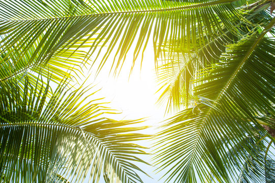 tropical palm leaf background, closeup coconut palm trees perspective view