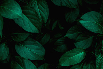 Photo sur Aluminium Vegetal closeup tropical green leaves texture and dark tone process, abstract nature pattern background