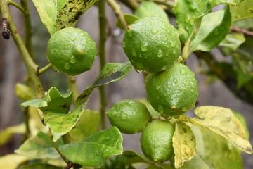 Grupo de limones verdes en el árbol, bajo la lluvia.