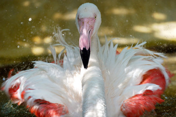 close up  Flamingo bird