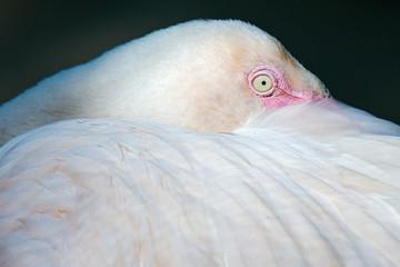 close up  Flamingo bird