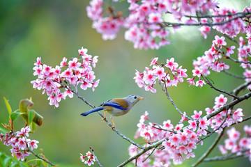 Blue winged Siva