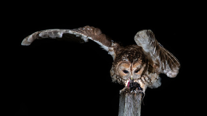 A tawny owl perched on a post at night. It is feeding on prey and has one wing outstretched to hold balance. The background is black with copy space around the subject Wall mural