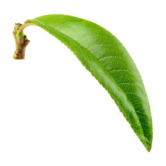 Peach leaf isolate. Peach leaf on white background. Full depth of field. With clipping path.