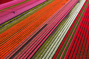 Photo sur Plexiglas Rouge Aerial view of the tulip fields in North Holland , The Netherlands