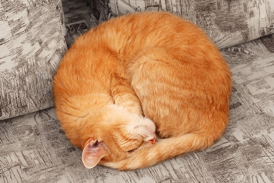 top view of sleepng ginger cat curled up into a ball
