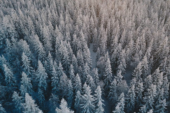 Snowy spruce trees in a winter landscape.