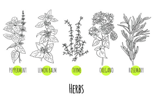 Vector set of green herbs and plants sketches: peppermint, lemon balm, thyme, oregano and rosemary. Healthy food, bio, organic, natural product, spices, herbal tea