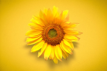 Stores à enrouleur Tournesol Flower card of sunflower on vivd yellow background. Flat lay, top view, copy space. Autumn or summer Concept of harvest time or agriculture. Sunflower natural background.