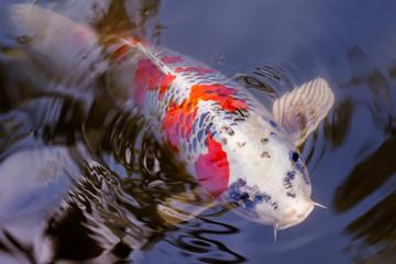 Exotic Koi fish carp swimming in pond
