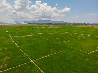 Beautiful Aerial image of young green paddy field and small hut at Kota Belud, Sabah, Borneo