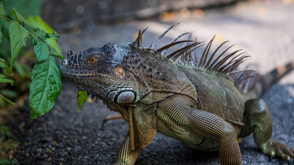 Close up image of the head of green iguana