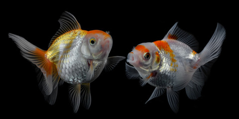 Goldfish isolated  background.