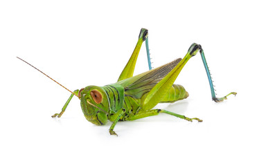 Green grasshopper isolated on a white backgroun