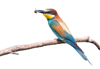 European bee-eater isolated