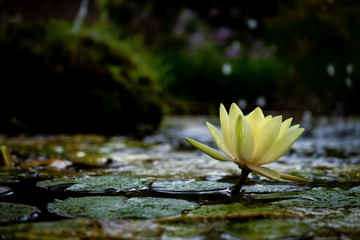 Wall Murals Water lilies white water lily in a pond