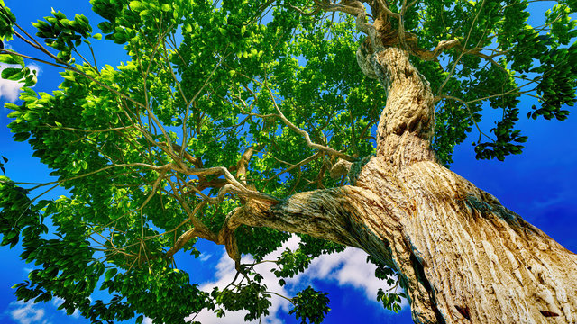 Sweet chestnut tree canopy against a clear blue sky