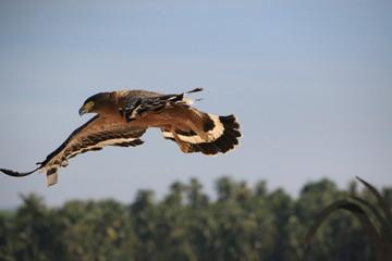 Flying hawk Ngapali Beach (Myanmar) Fototapete