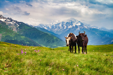 Two grazing cows on a field in the mountains, sunny day, green grass and snowy peaks.