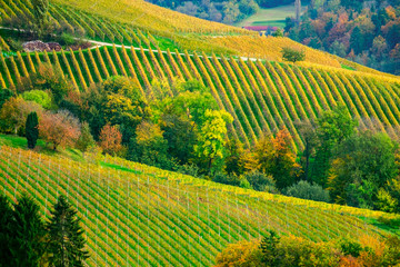 Wall Murals Vineyard Vineyards in autumn