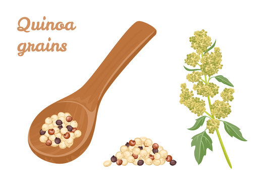 Quinoa Tricolor grains in wooden spoon, pile of seeds and plant isolated on white background. Superfood vector illustration in cartoon simple flat style.